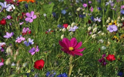 Växterna som hjälper våra pollinerande insekter